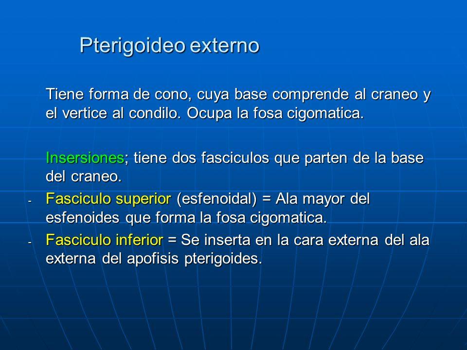 Pterigoideo externo Tiene forma de cono, cuya base comprende al craneo y el vertice al condilo. Ocupa la fosa cigomatica.