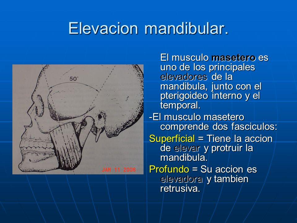 Elevacion mandibular. El musculo masetero es uno de los principales elevadores de la mandibula, junto con el pterigoideo interno y el temporal.