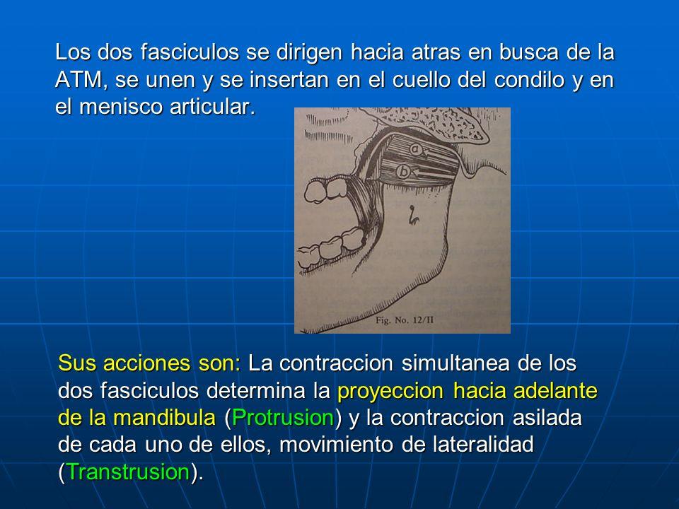Los dos fasciculos se dirigen hacia atras en busca de la ATM, se unen y se insertan en el cuello del condilo y en el menisco articular.