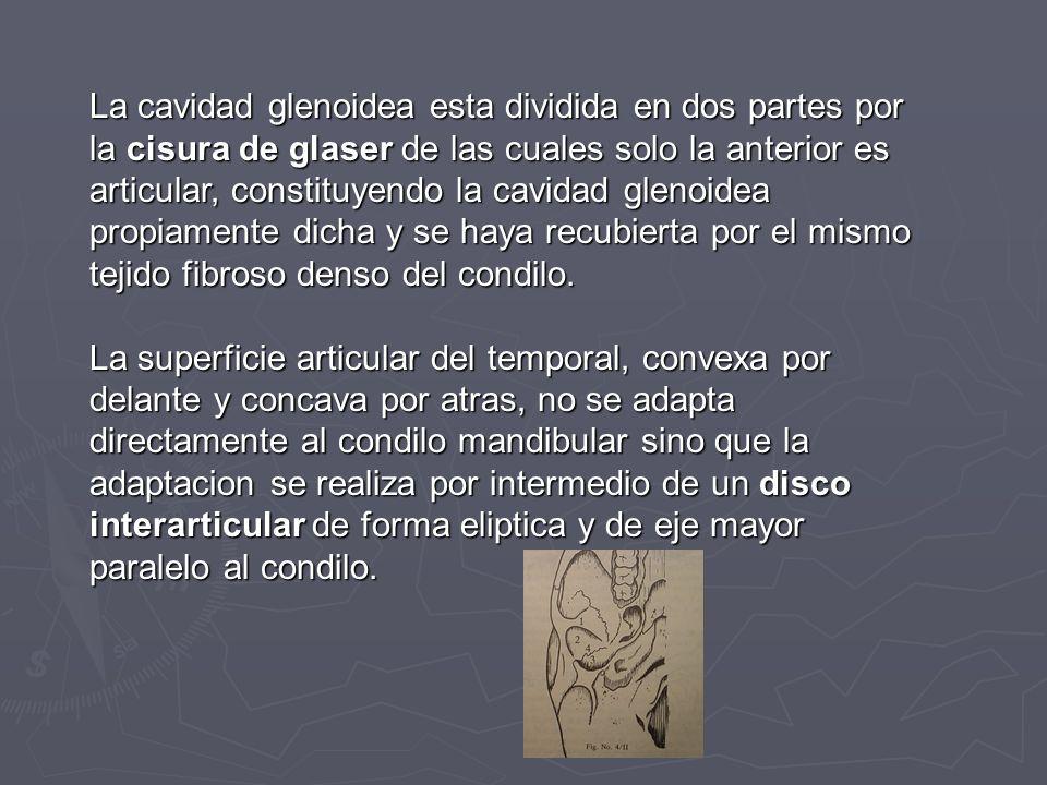 La cavidad glenoidea esta dividida en dos partes por la cisura de glaser de las cuales solo la anterior es articular, constituyendo la cavidad glenoidea propiamente dicha y se haya recubierta por el mismo tejido fibroso denso del condilo.