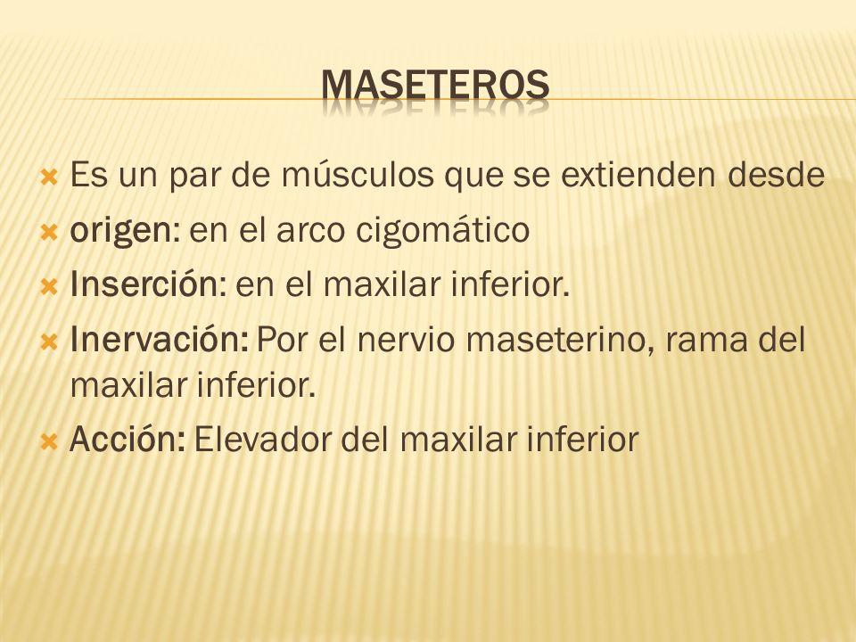maseteros Es un par de músculos que se extienden desde