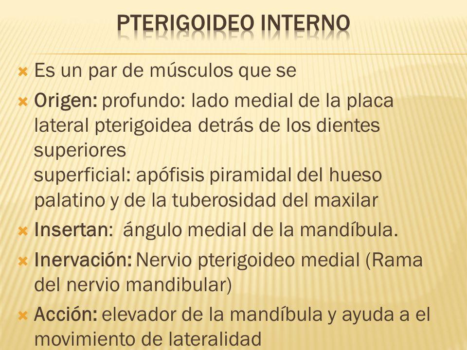 Pterigoideo INterno Es un par de músculos que se