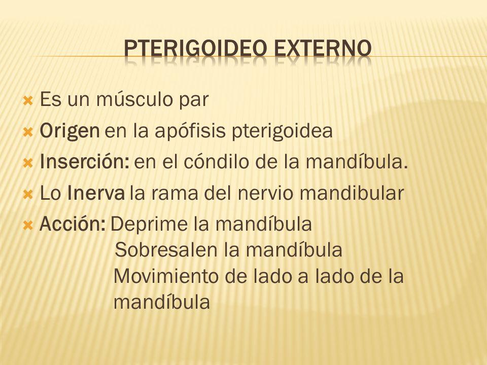 Pterigoideo EXterno Es un músculo par