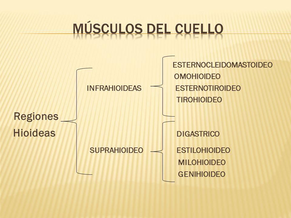 Músculos del cuello Regiones Hioideas DIGASTRICO