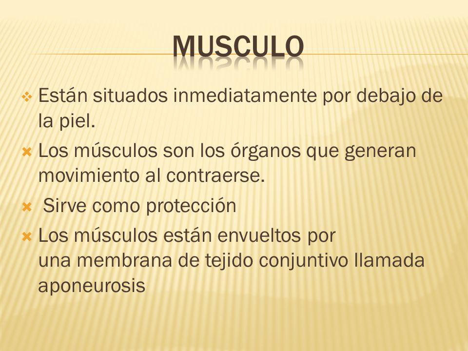 Musculo Están situados inmediatamente por debajo de la piel.