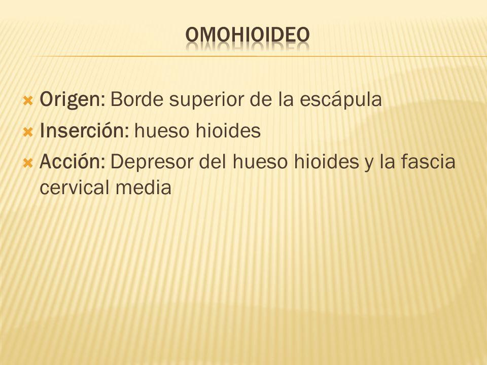 OmohioideoOrigen: Borde superior de la escápula.Inserción: hueso hioides.