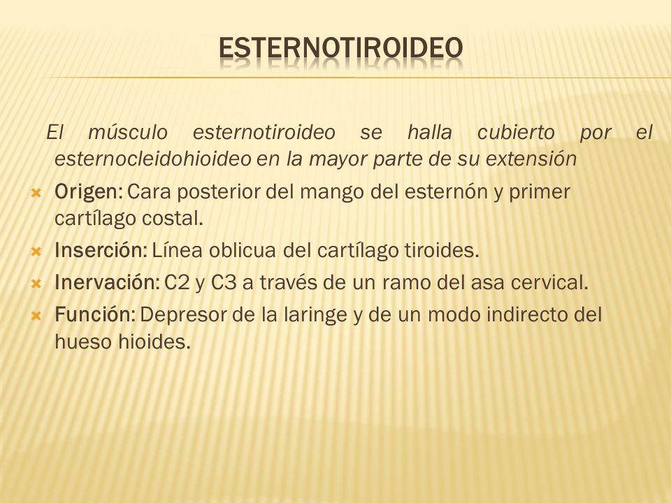 Esternotiroideo El músculo esternotiroideo se halla cubierto por el esternocleidohioideo en la mayor parte de su extensión.