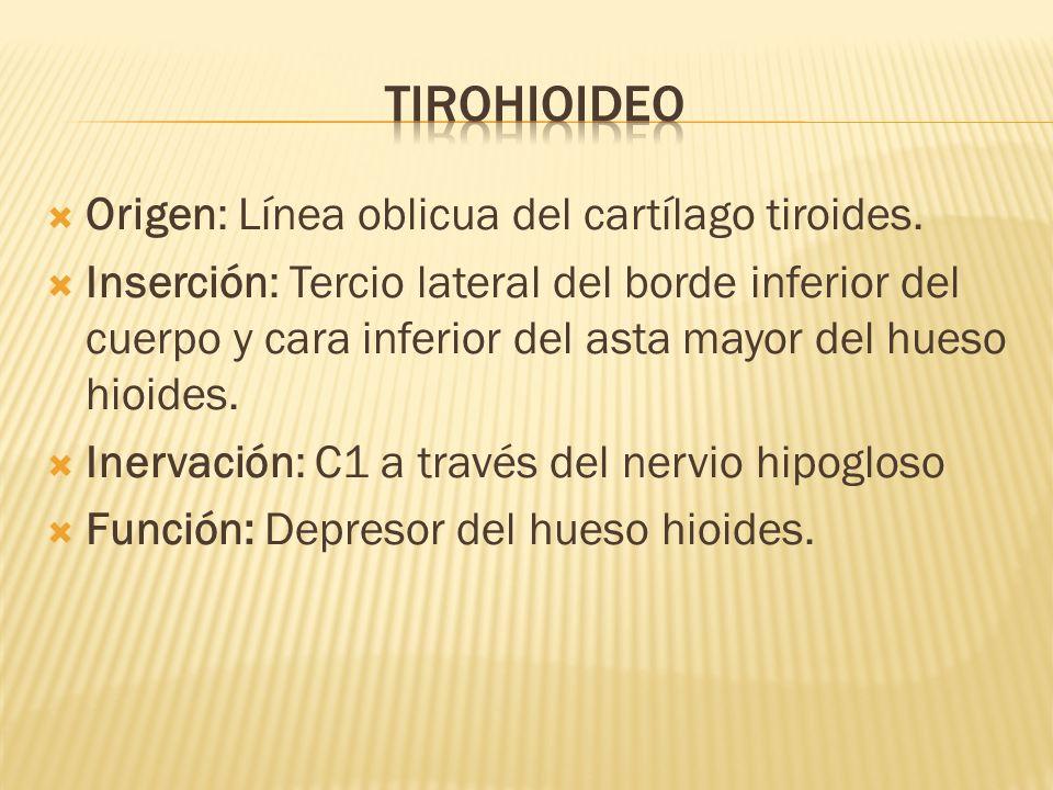 tirohioideo Origen: Línea oblicua del cartílago tiroides.