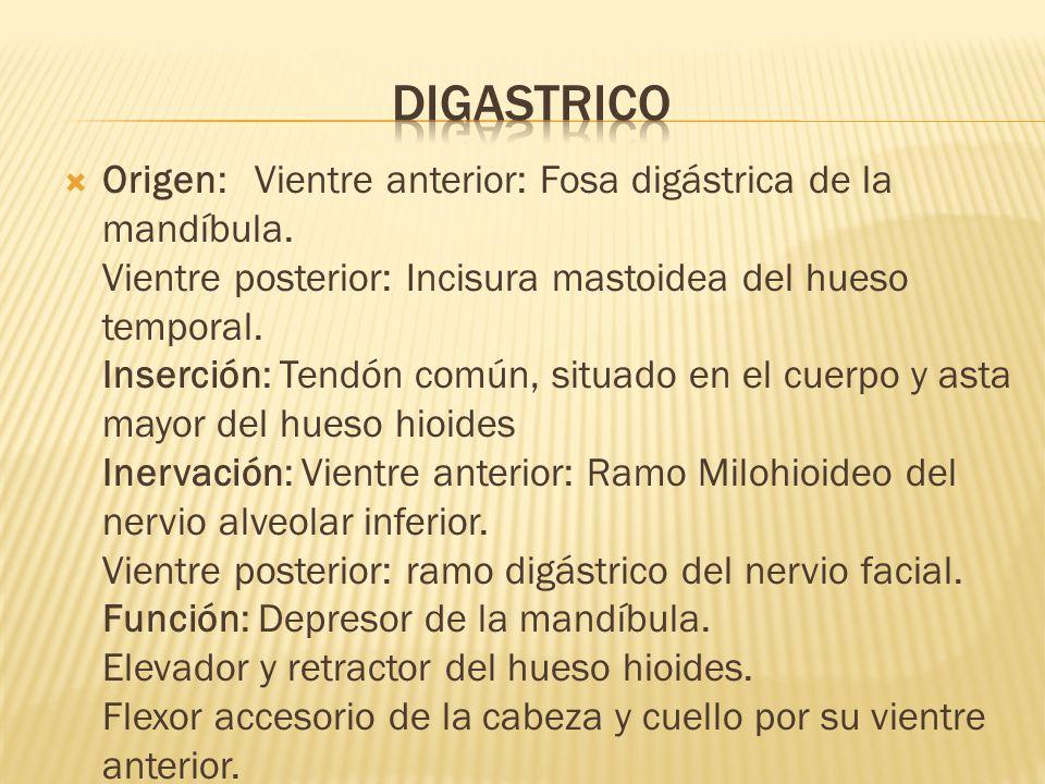 digastrico