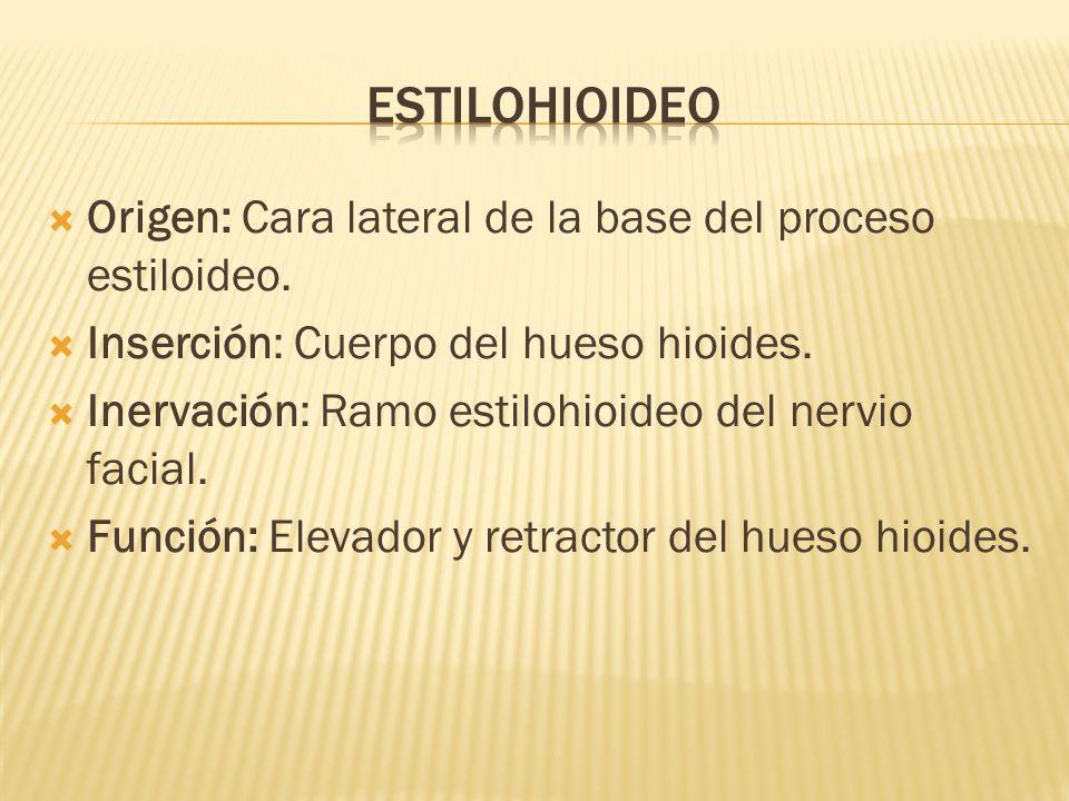 estilohioideo Origen: Cara lateral de la base del proceso estiloideo.