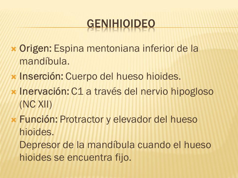 genihioideo Origen: Espina mentoniana inferior de la mandíbula.