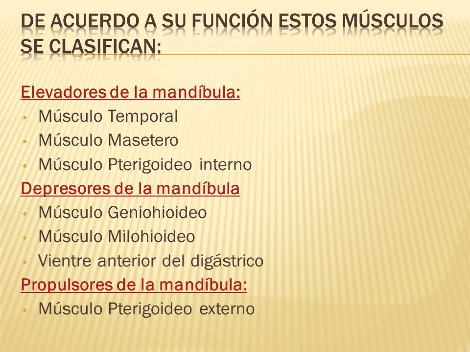 De acuerdo a su función estos músculos se clasifican: