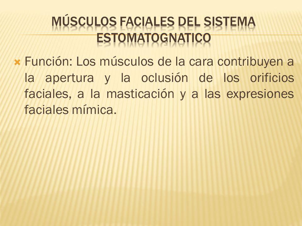 Músculos faciales del sistema estomatognatico