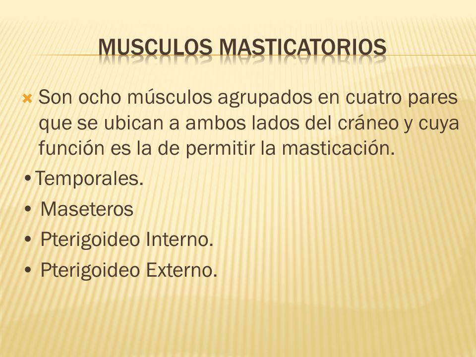 Musculos masticatorios