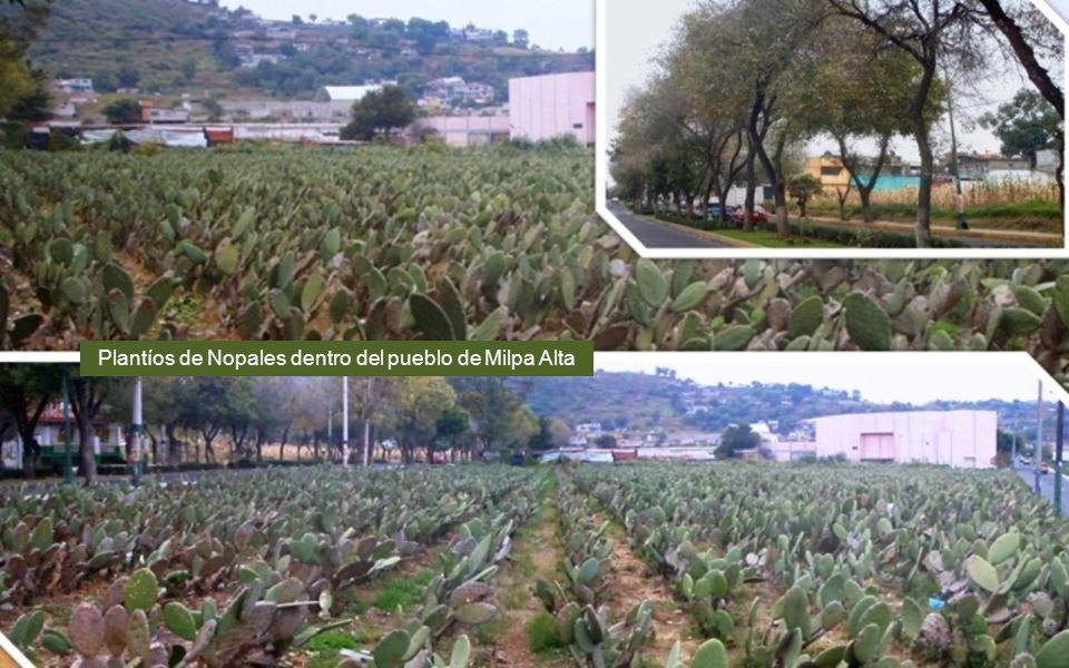 Plantíos de Nopales dentro del pueblo de Milpa Alta