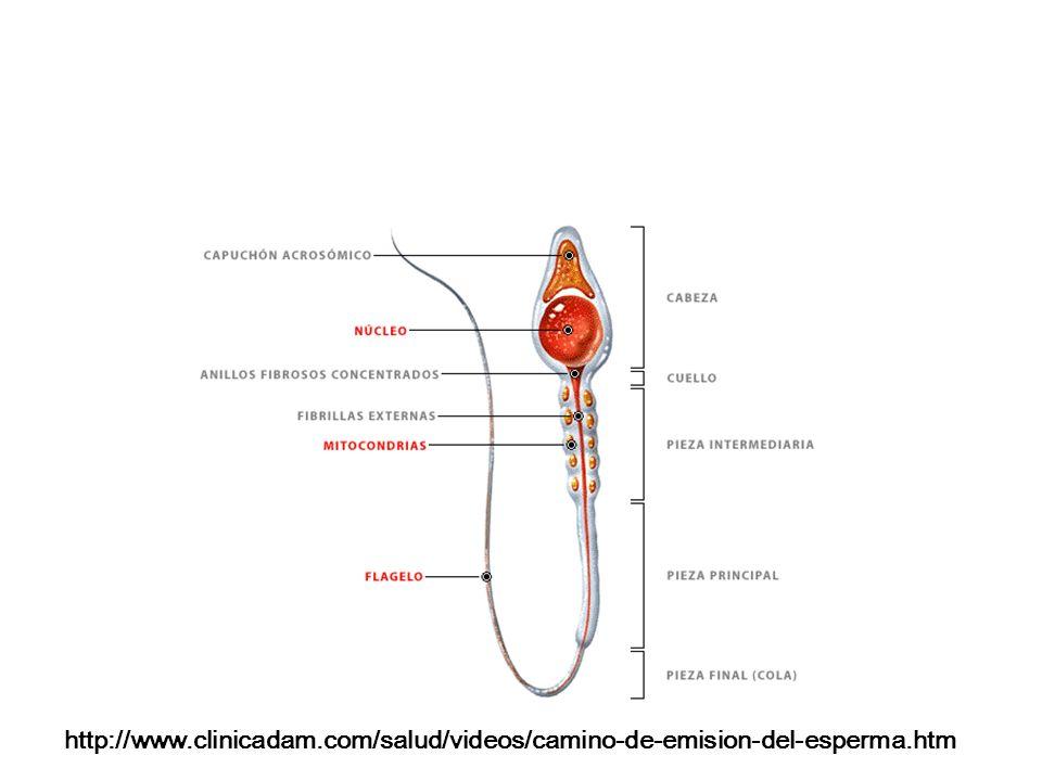 http://www. clinicadam. com/salud/videos/camino-de-emision-del-esperma