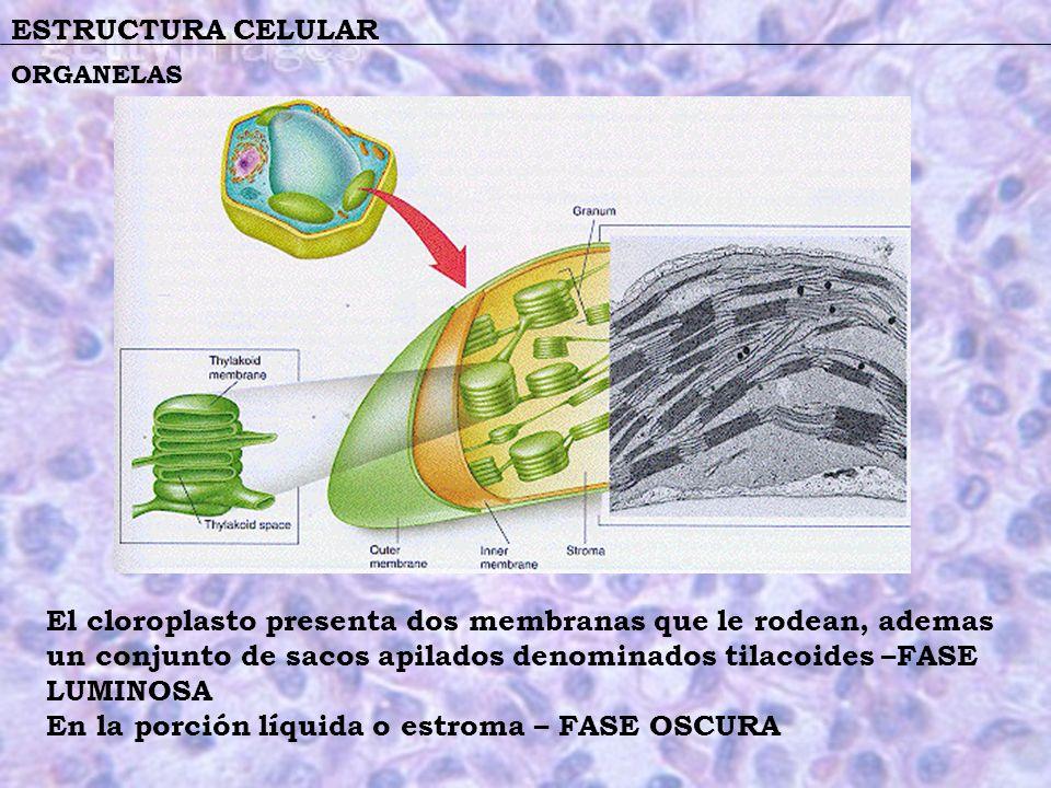 En la porción líquida o estroma – FASE OSCURA