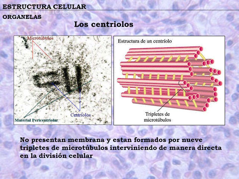 Los centriolos ESTRUCTURA CELULAR