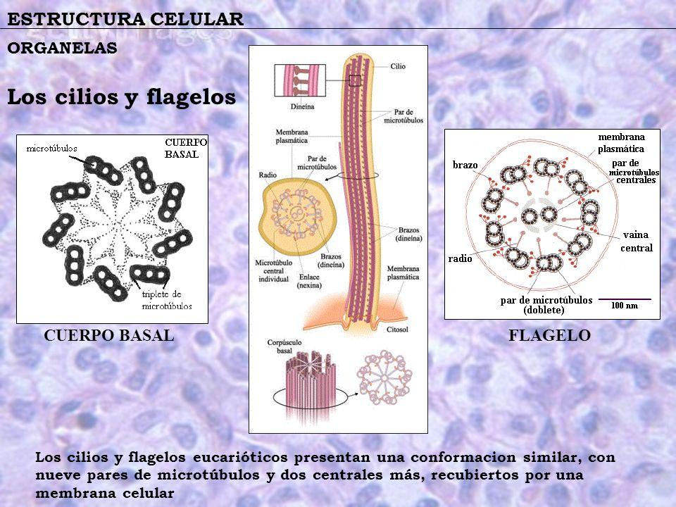 Los cilios y flagelos ESTRUCTURA CELULAR ORGANELAS CUERPO BASAL