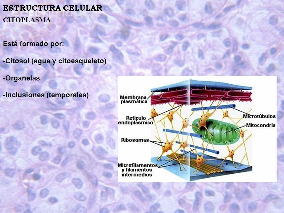 ESTRUCTURA CELULAR CITOPLASMA Está formado por: