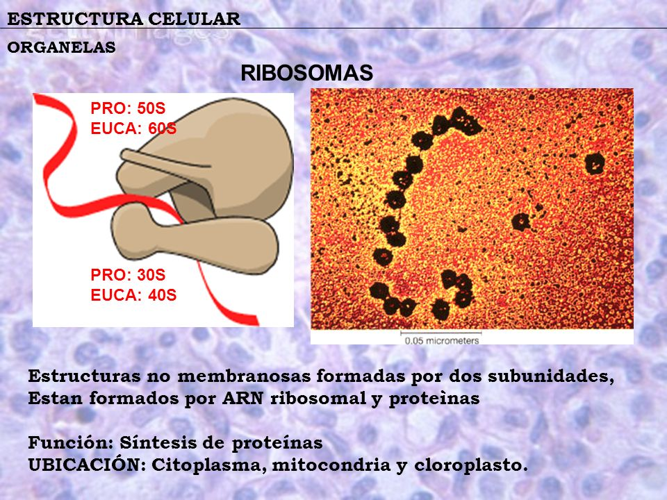 RIBOSOMAS ESTRUCTURA CELULAR