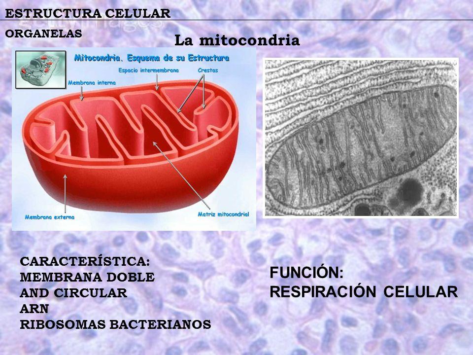 La mitocondria FUNCIÓN: RESPIRACIÓN CELULAR ESTRUCTURA CELULAR