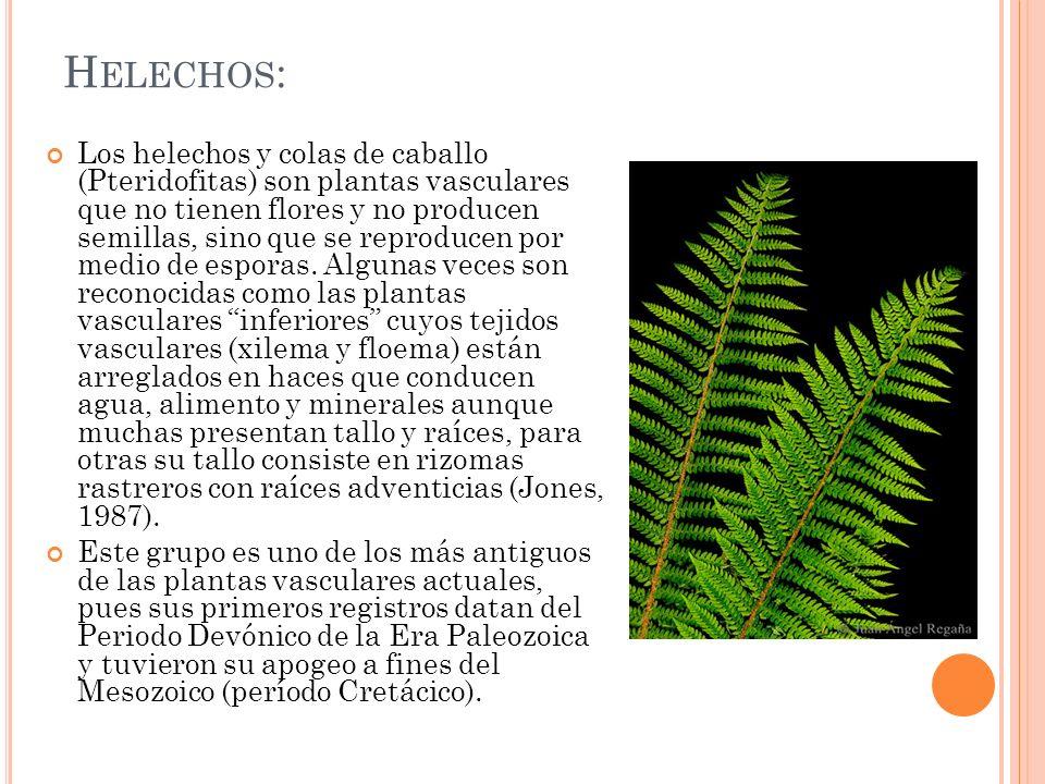 Helechos: