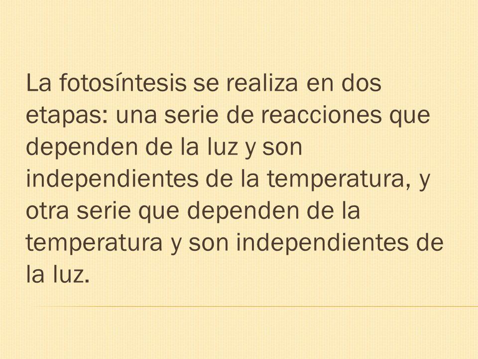 La fotosíntesis se realiza en dos etapas: una serie de reacciones que dependen de la luz y son independientes de la temperatura, y otra serie que dependen de la temperatura y son independientes de la luz.