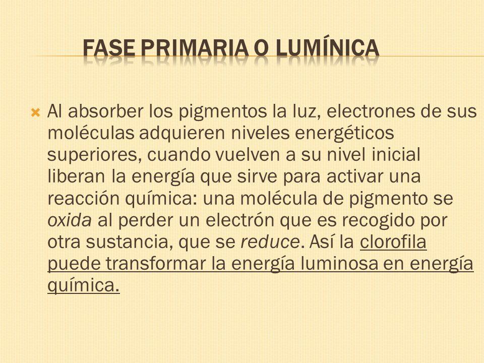 Fase primaria o lumínica