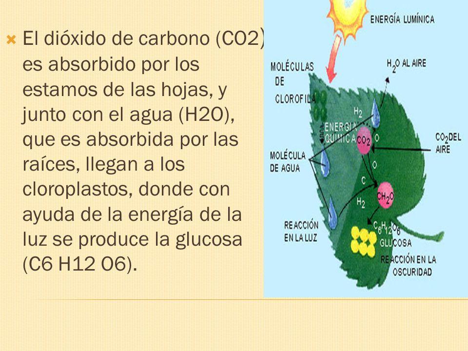 El dióxido de carbono (CO2) es absorbido por los estamos de las hojas, y junto con el agua (H2O), que es absorbida por las raíces, llegan a los cloroplastos, donde con ayuda de la energía de la luz se produce la glucosa (C6 H12 O6).