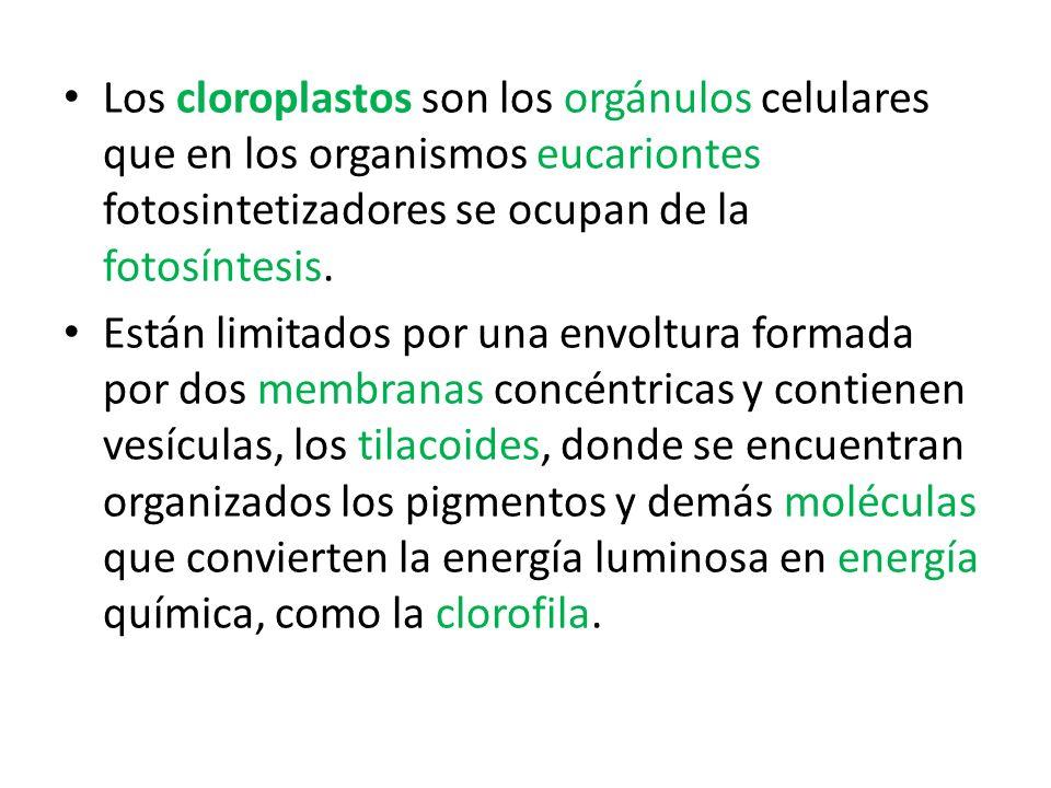 Los cloroplastos son los orgánulos celulares que en los organismos eucariontes fotosintetizadores se ocupan de la fotosíntesis.
