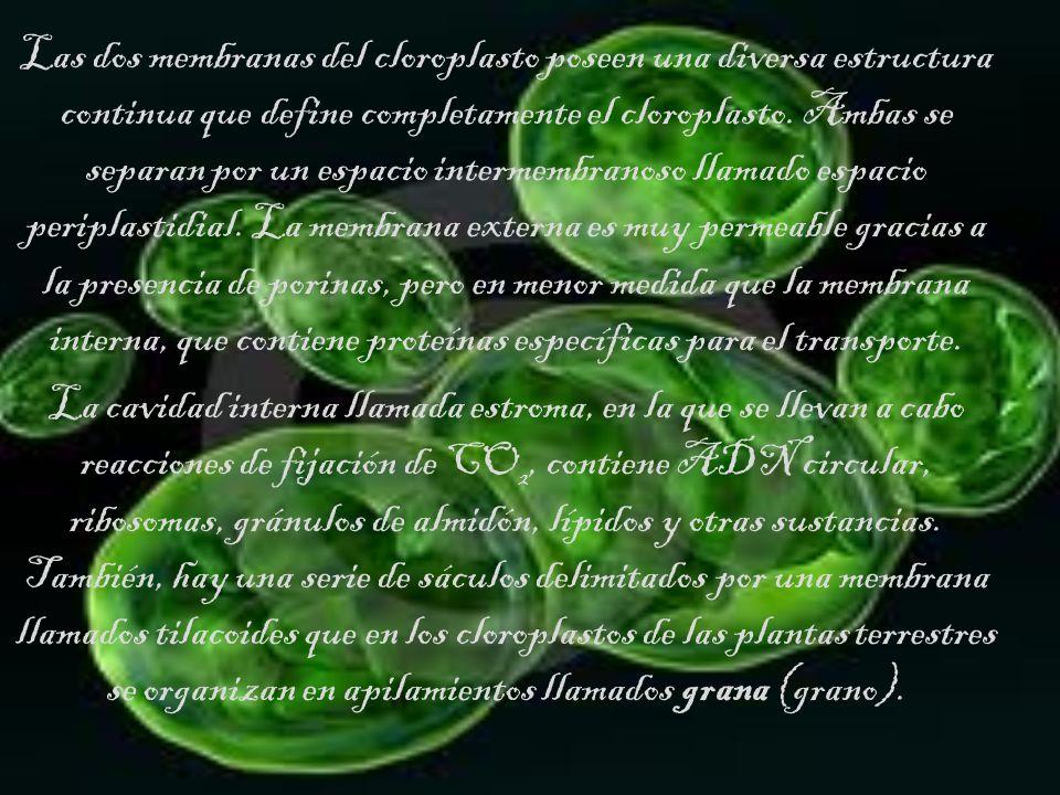 Las dos membranas del cloroplasto poseen una diversa estructura continua que define completamente el cloroplasto. Ambas se separan por un espacio intermembranoso llamado espacio periplastidial. La membrana externa es muy permeable gracias a la presencia de porinas, pero en menor medida que la membrana interna, que contiene proteínas específicas para el transporte.