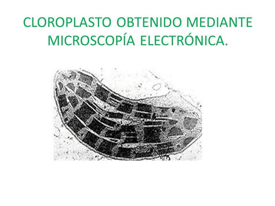 CLOROPLASTO OBTENIDO MEDIANTE MICROSCOPÍA ELECTRÓNICA.