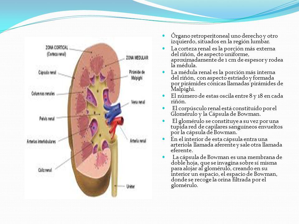 Órgano retroperitoneal uno derecho y otro izquierdo, situados en la región lumbar.
