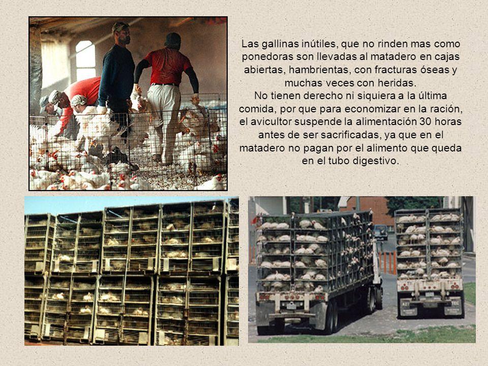 Las gallinas inútiles, que no rinden mas como ponedoras son llevadas al matadero en cajas abiertas, hambrientas, con fracturas óseas y muchas veces con heridas.