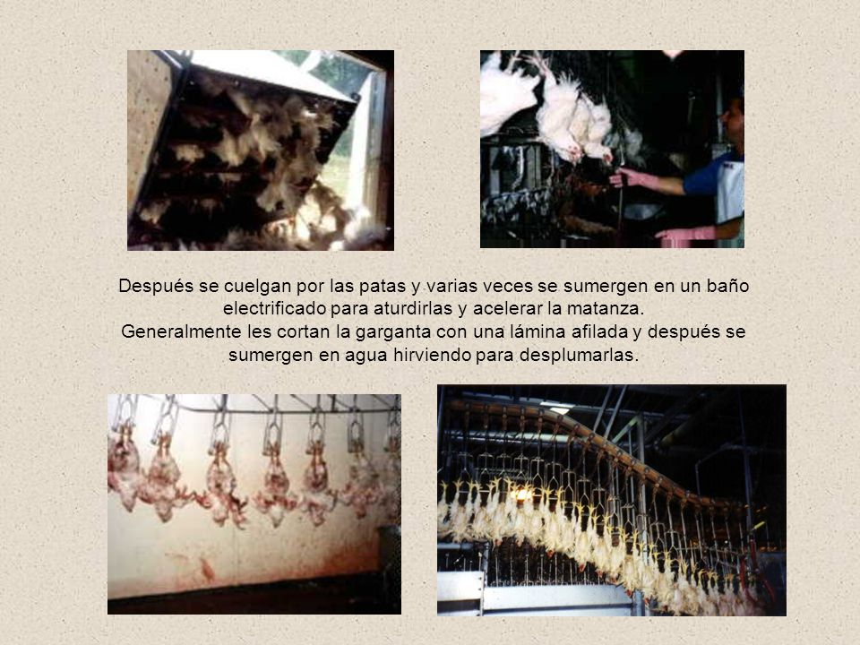 Después se cuelgan por las patas y varias veces se sumergen en un baño electrificado para aturdirlas y acelerar la matanza.