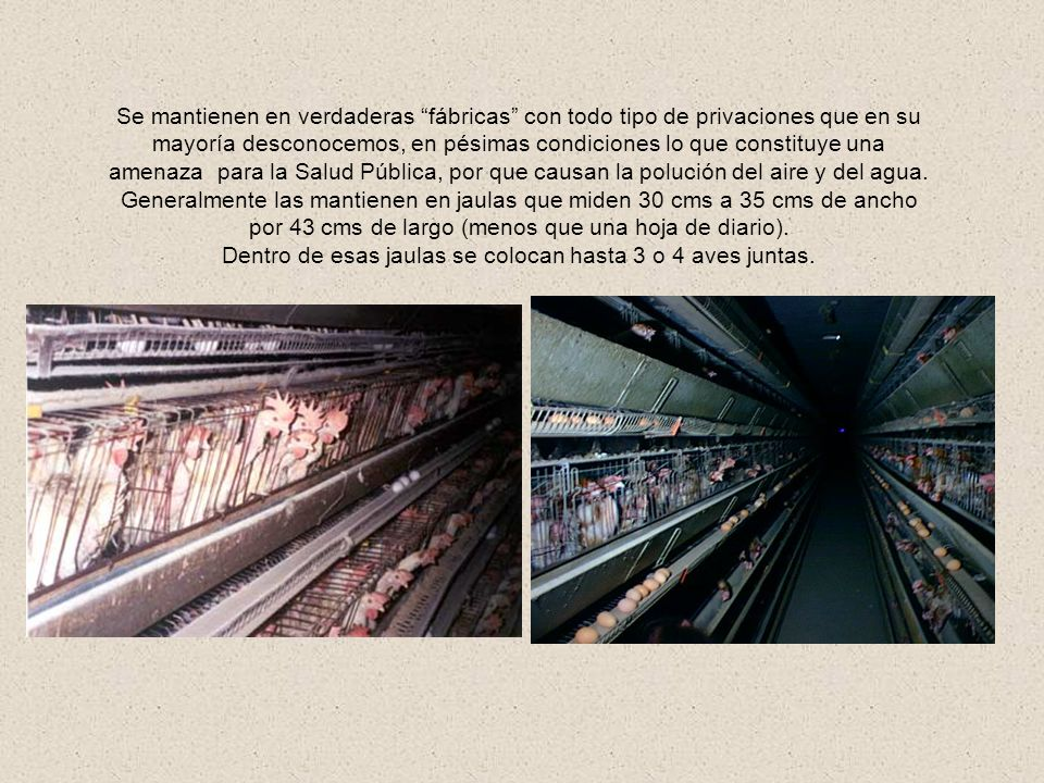 Dentro de esas jaulas se colocan hasta 3 o 4 aves juntas.