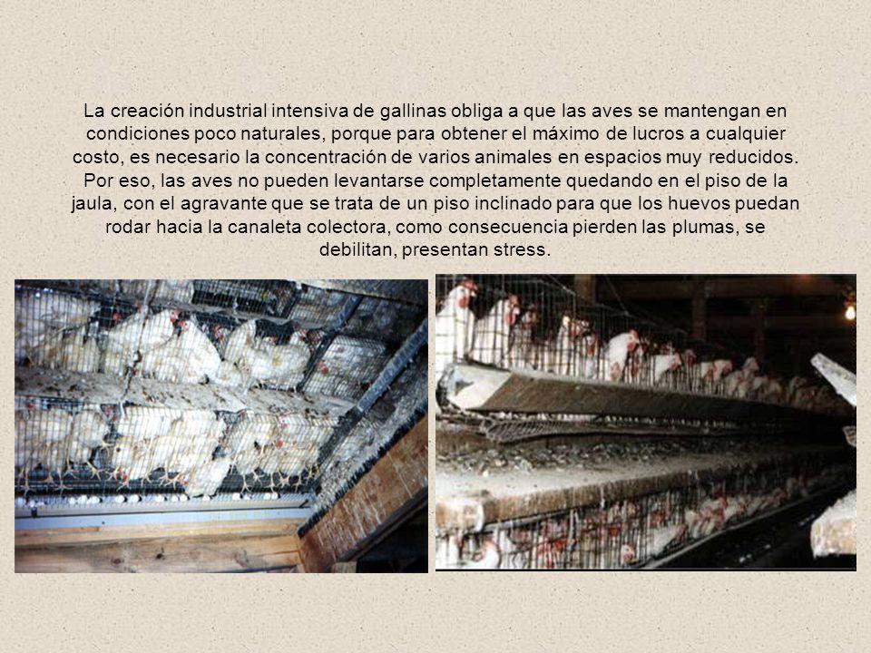 La creación industrial intensiva de gallinas obliga a que las aves se mantengan en condiciones poco naturales, porque para obtener el máximo de lucros a cualquier costo, es necesario la concentración de varios animales en espacios muy reducidos.