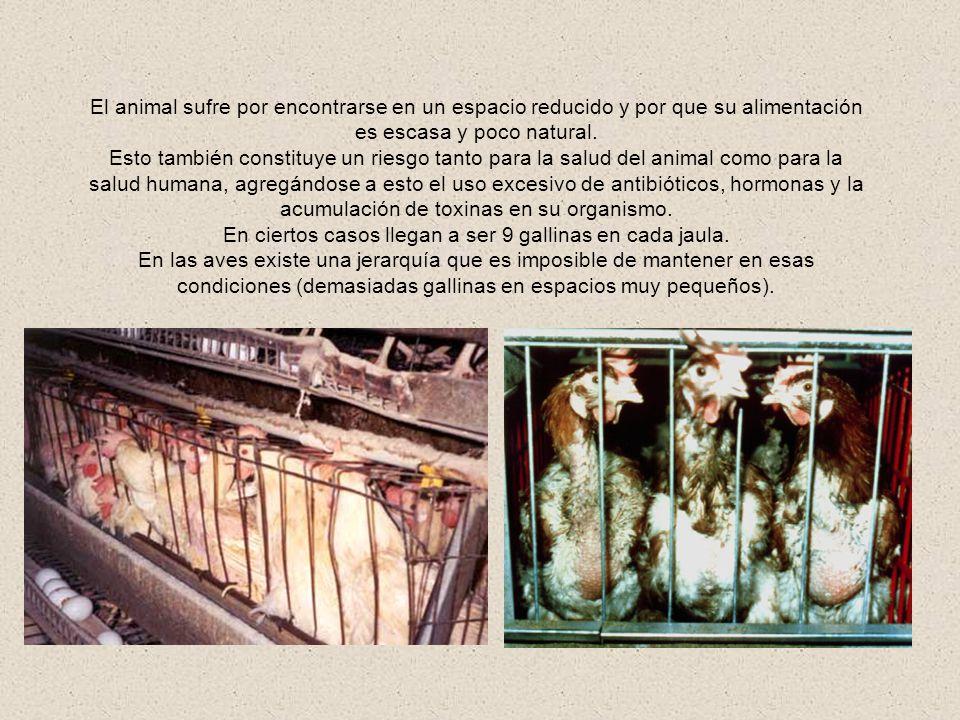 En ciertos casos llegan a ser 9 gallinas en cada jaula.