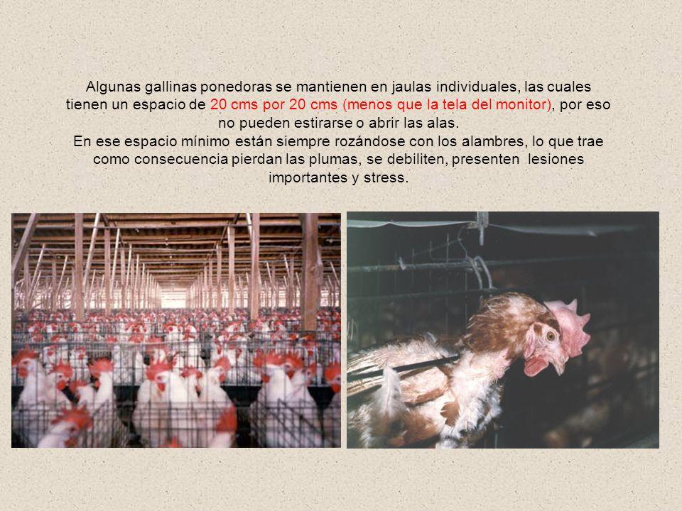 Algunas gallinas ponedoras se mantienen en jaulas individuales, las cuales tienen un espacio de 20 cms por 20 cms (menos que la tela del monitor), por eso no pueden estirarse o abrir las alas.