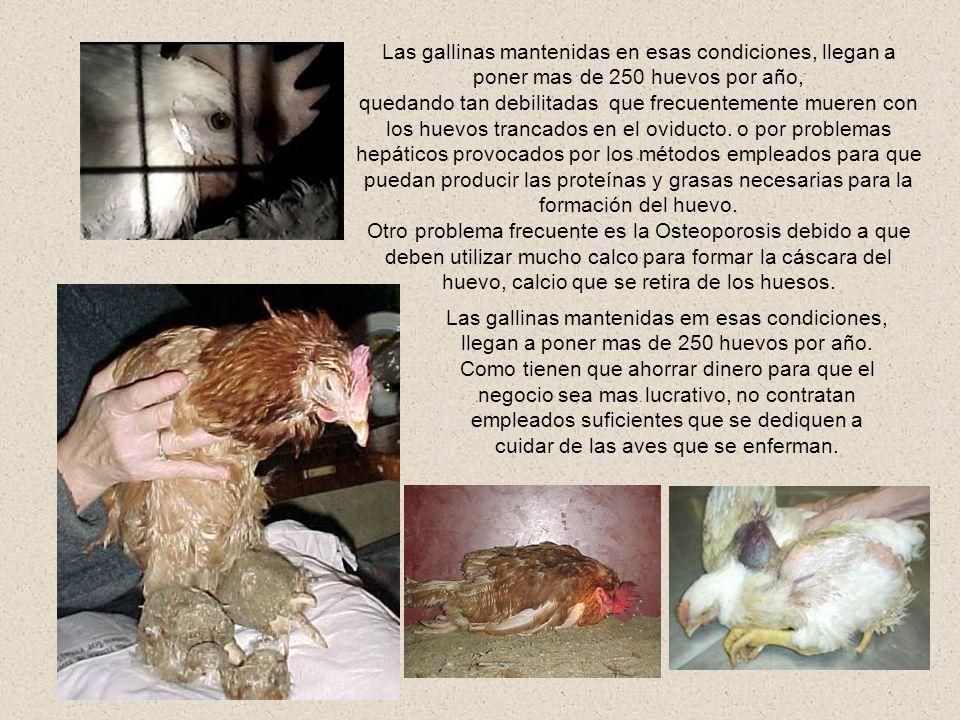 Las gallinas mantenidas en esas condiciones, llegan a poner mas de 250 huevos por año,
