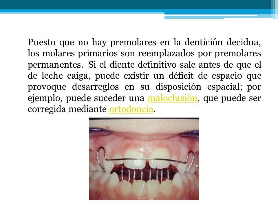 Puesto que no hay premolares en la dentición decidua, los molares primarios son reemplazados por premolares permanentes.