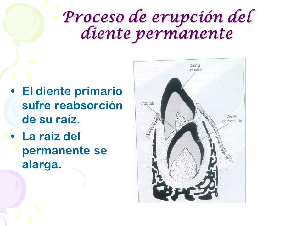 Proceso de erupción del diente permanente
