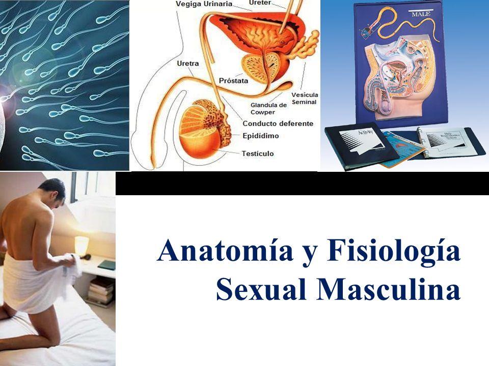Anatomía y Fisiología Sexual Masculina - ppt video online descargar