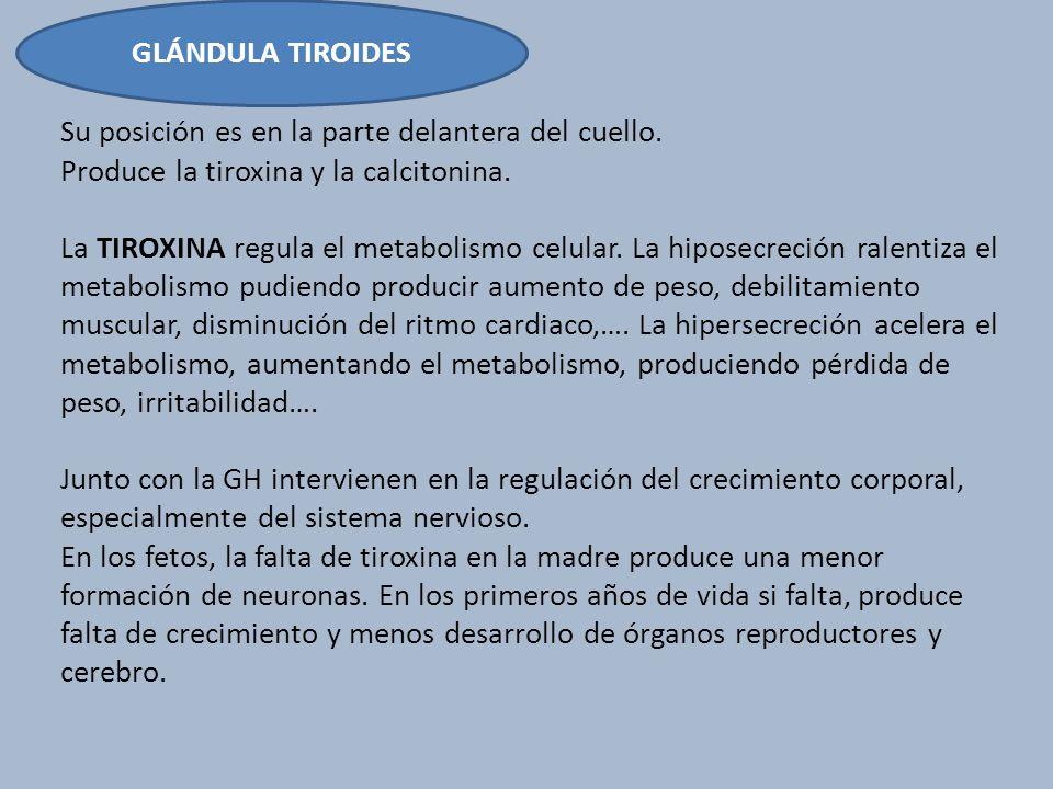GLÁNDULA TIROIDES Su posición es en la parte delantera del cuello. Produce la tiroxina y la calcitonina.