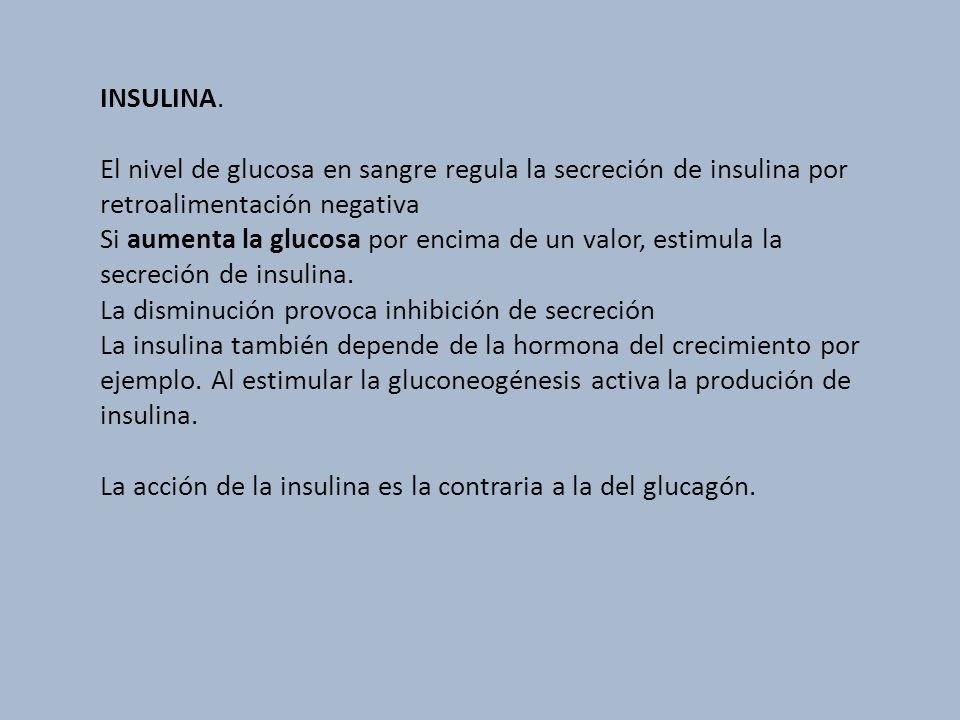 INSULINA. El nivel de glucosa en sangre regula la secreción de insulina por retroalimentación negativa.