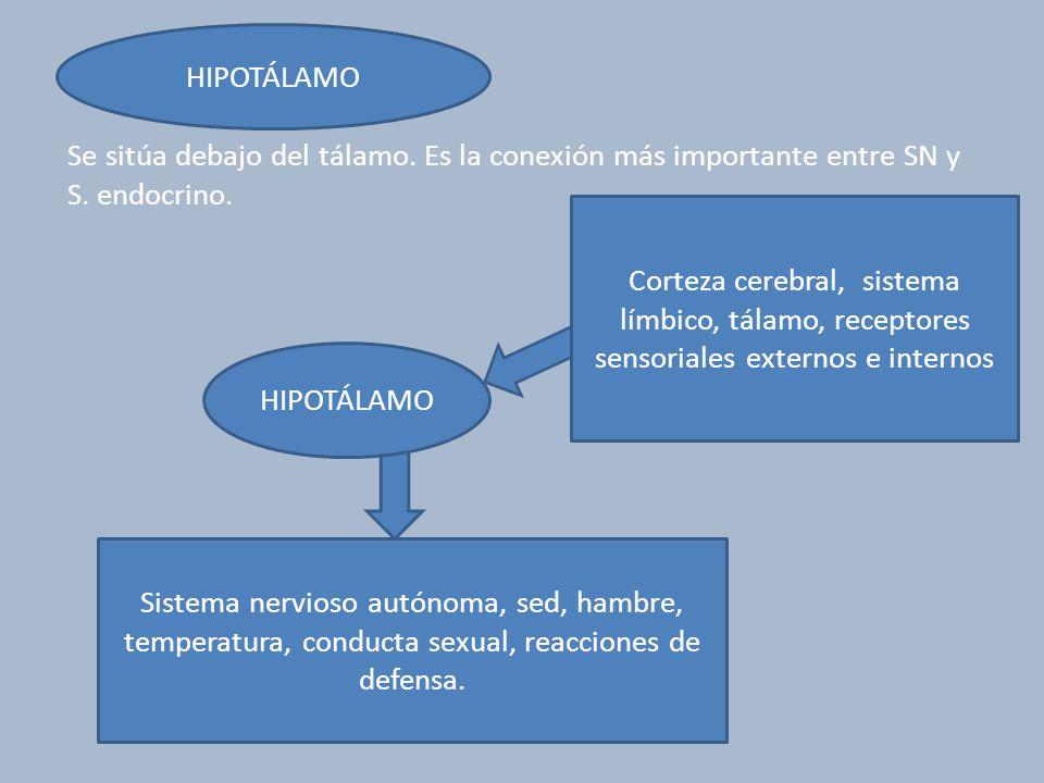 HIPOTÁLAMO Se sitúa debajo del tálamo. Es la conexión más importante entre SN y S. endocrino.