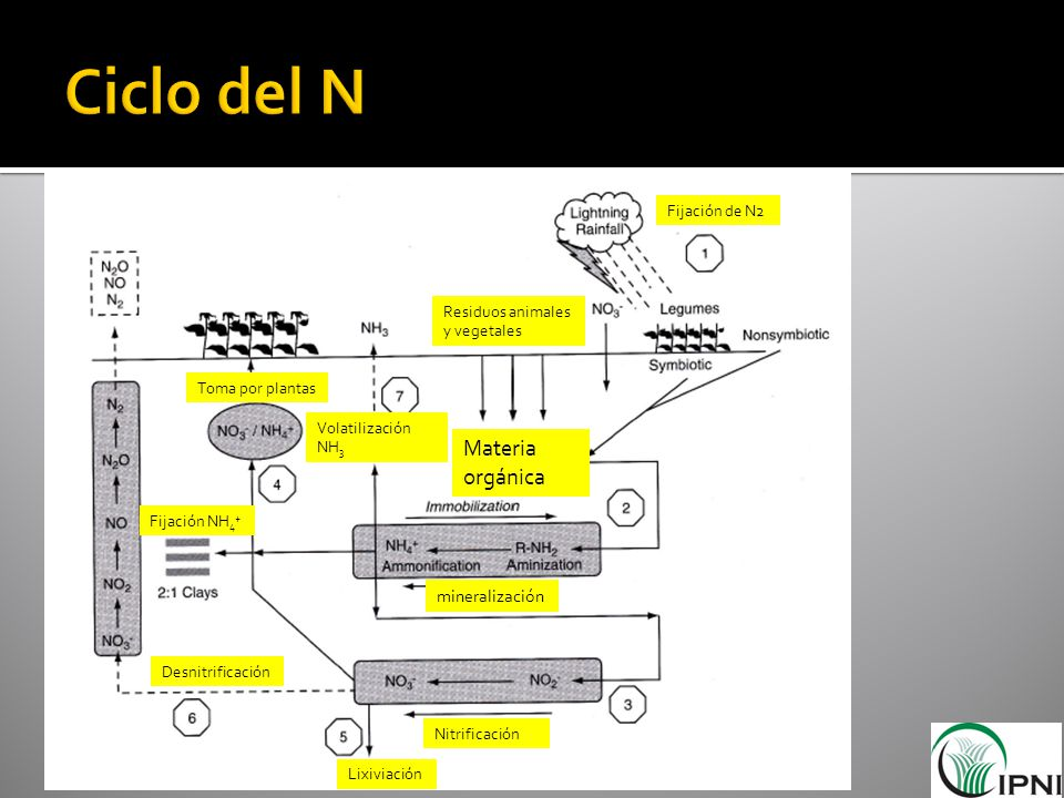 Ciclo del N Materia orgánica Havlin et al., 2005, p. 98 mineralización