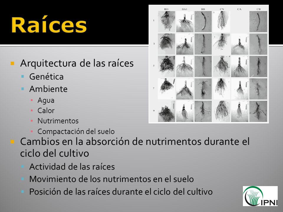 Raíces Arquitectura de las raíces