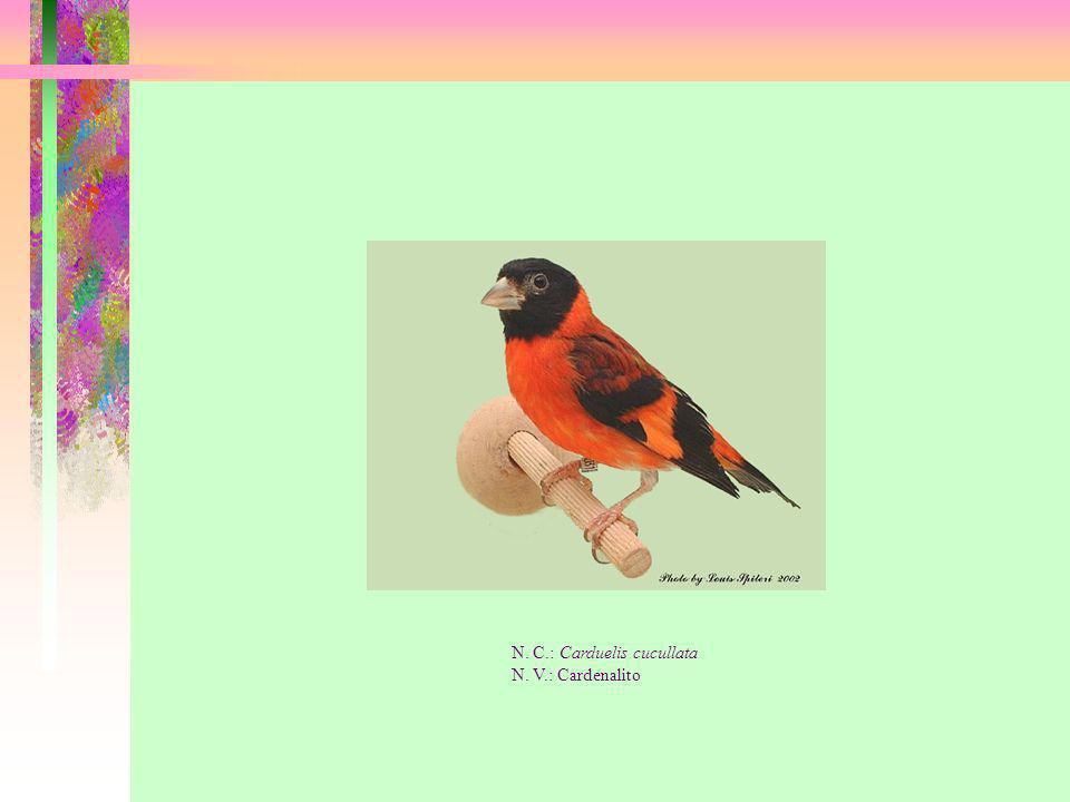 N. C.: Carduelis cucullata